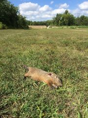 Groundhog taken with an AR15 shooting .223 ammo from Australian Outback ammo.