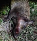 Wild Hog shot with the 6.8SPC-II in Texas.