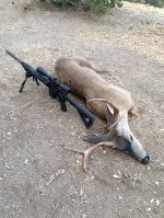 California Blacktail Deer Taken with an AR15 in 5.56.