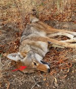 Stone Dead Coyote with Bullet Entry Marked