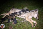 One of 7 Coyotes the Author Took with the 100 GR. GMX Bullet.