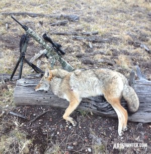 A nice looking female coyote taken with the R25 in .243.