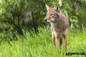 Coyote on Alert.