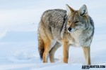 Coyote in the Snow