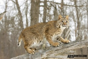 Bobcat on the Hunt.