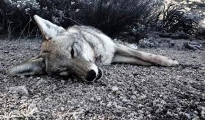 A Cold Arizona Predator Hunt with My RRA Predator Pursuit